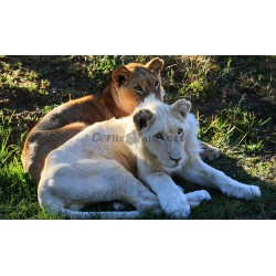 White African Lion